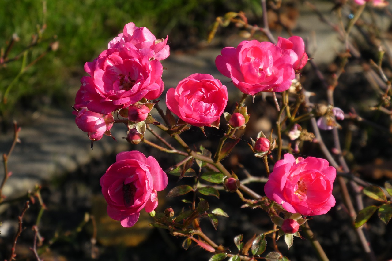how to take care of mini roses