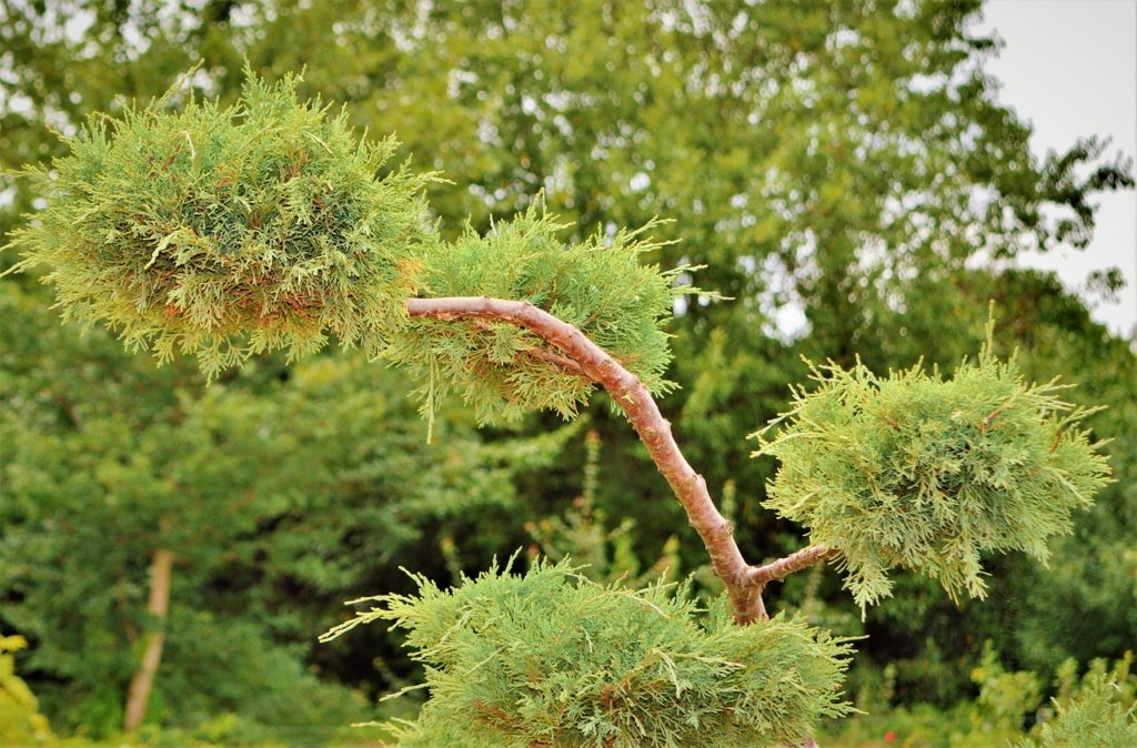 how to remove Juniper Bush
