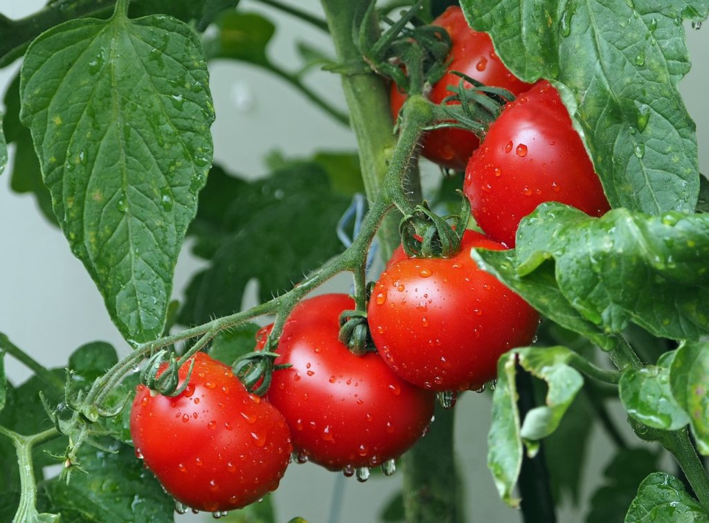 Growing Tomatoes In Storage Containers
